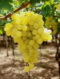 Mazzarrone ct rubano 100 kg di uva italia arrestati eco di sicilia - Uva da tavola di mazzarrone ...