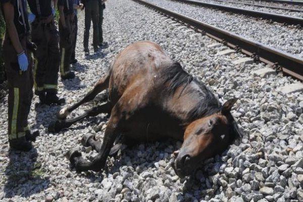 cavalli morti