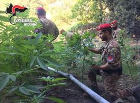 Messina scovata coltivazione da 400 piante di marijuana - Fratelli ingegnoli piante ...