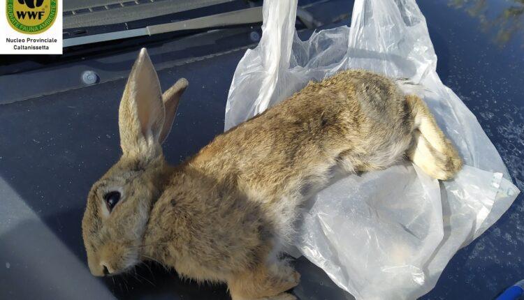 Coniglio ucciso