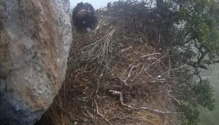 foto nido aquile teler